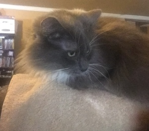 Venus' cat Nix sitting on the office chair